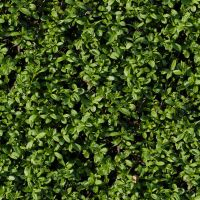 Seamless tileable hedge grass texture by hhh316