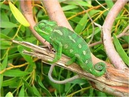 Chameleon in Green by Faunamelitensis