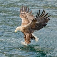 Gotcha - White -tailed Sea-eagle by Jamie-MacArthur