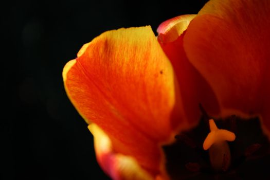 Fire Tulip by Toderico