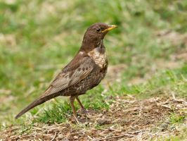 looking for grub - Ring Ouzel - female by Jamie-MacArthur