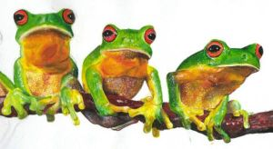 Tree Frogs by jetmise