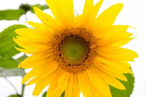 Sunflower by delphotographer
