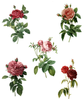 Rose Set (5) PNG by chaseandlinda