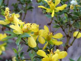 Creosote Bush Flowers by ClymberPaddler