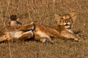 African Lion 40 by catman-suha