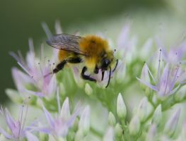 Foraging bee by spinngewebe