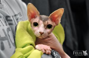 Sphynx at catshow by felill