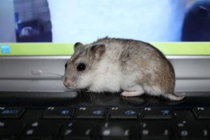 CHINESE DWARF HAMSTER by xMarrux