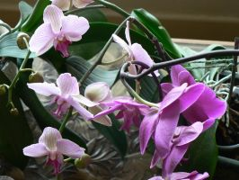 pink and purple orchid by kram666
