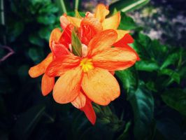 Orange Flower by mayairy