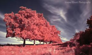 Infrared row of trees by Sminott