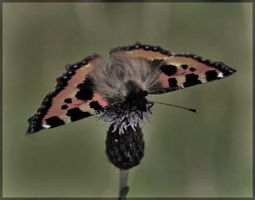 Butterfly by Sapka