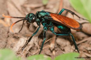 Colorful tarantula hawk by dllavaneras