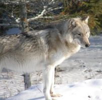 Timber Wolf by Fictionary