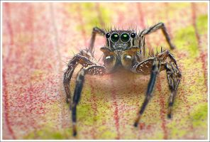Little Jumping Spiders by OshimaruKung7285