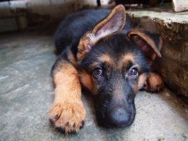 German Shepherd Puppy by Serene2011