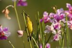 Sunbird amongst Orchids by garion