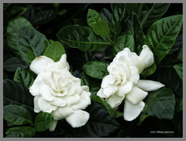 Gardenia chatter by Mogrianne