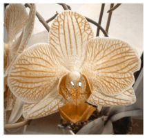 Orchidee I by avireX