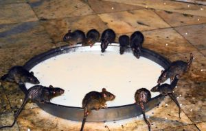temple rats drinking milk by lomapatta-stock