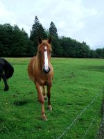 Horse STOCK- free to use by Tumbling-Star