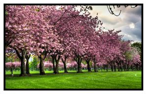 Pink Trees HDR by SRussellPhotos