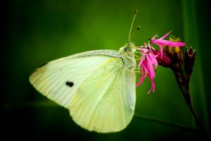 Cabbage butterfly by padika11