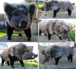 Mature Wild Boar Plush Toy by Jarahamee
