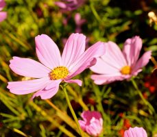 Pink Cosmos by MissSpocks