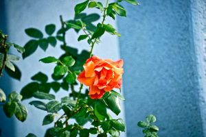 lonely rose in winter by xxswanfeather