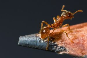 Ant Photoshooting #3 by Puttee