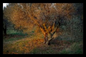 Olive tree at Sunset. France by jennystokes