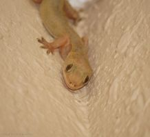 Gecko Stare by DracoFlameus