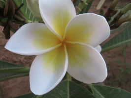 indian jasmin by starlaa1
