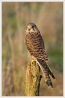Kestrel by AngiWallace