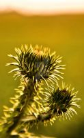 A lone thistle by Abenddaemmerung