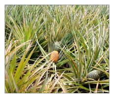 Photo: Pineapple by Insidious-Ink
