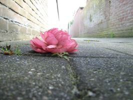 Ground rose by Tap-Photo-and-Co