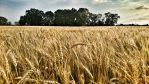 Wind dancing in the wheat by vdf