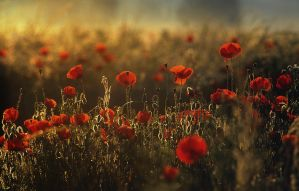 Poppies 4.1 by wienwal