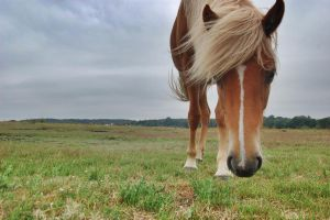 HDR Icelandic horse by ProbablyThePenguin