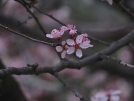 Cherry Blossoms by defyinggravity10