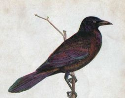 Vintage Grackle by HauntingVisionsStock