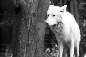 White wolf by DemiDolman