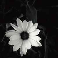 Fleur 3 - Black and White by Necy
