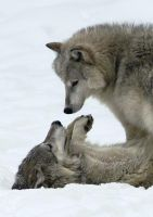 Wolf Love by BettyBarkley