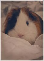 Marshmallow by Guineapigrage