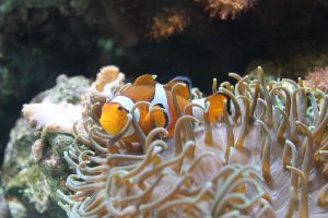 Clownfish and Anenome II by thecountess