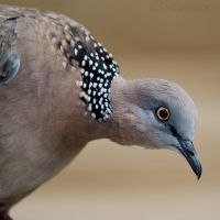 Spotted Turtle-Dove 04 by 88-Lawstock